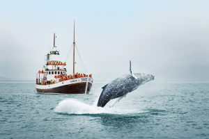 Whale Watching- Iceland